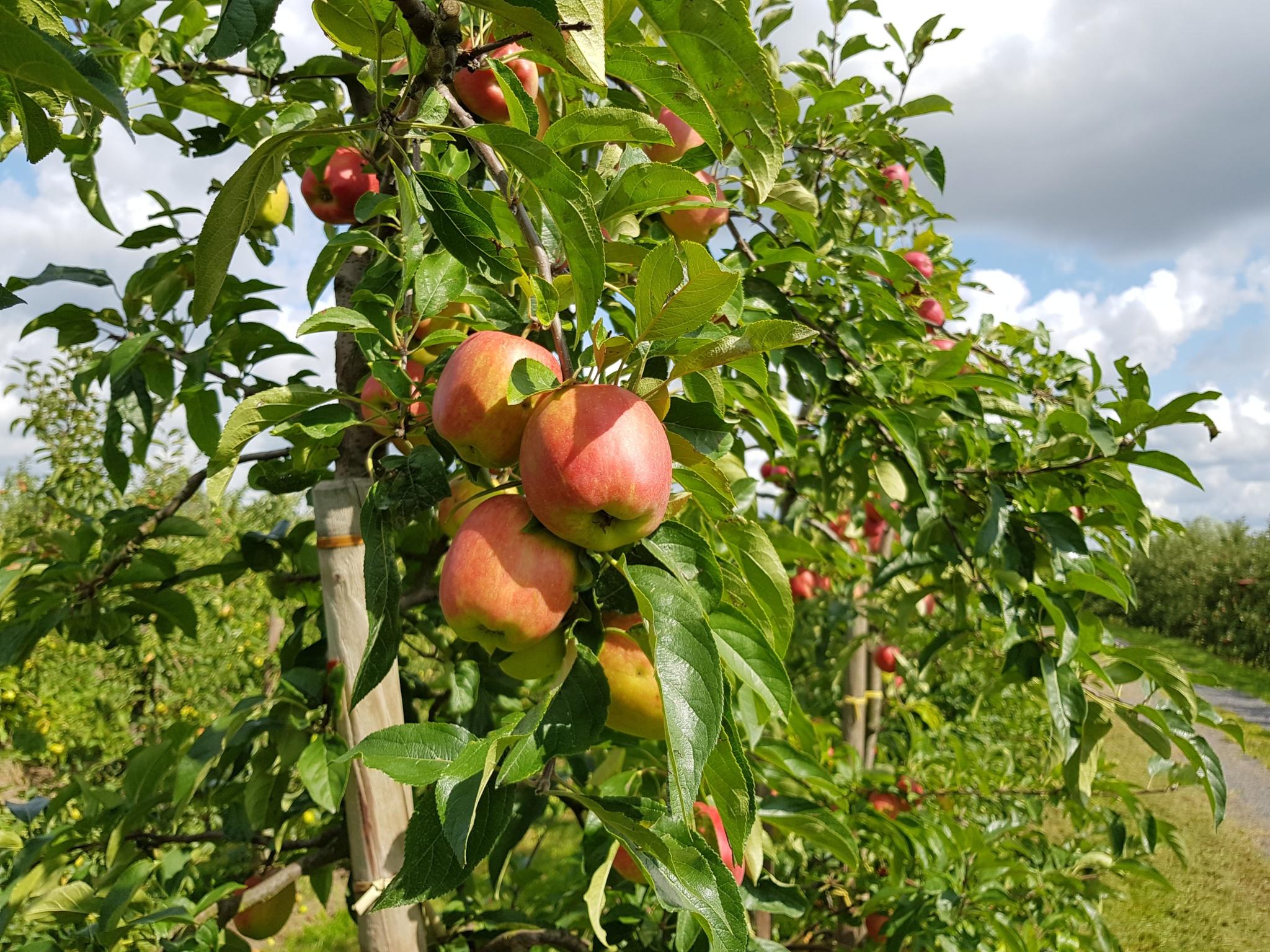 Apfel Altes Land Delbarestivale