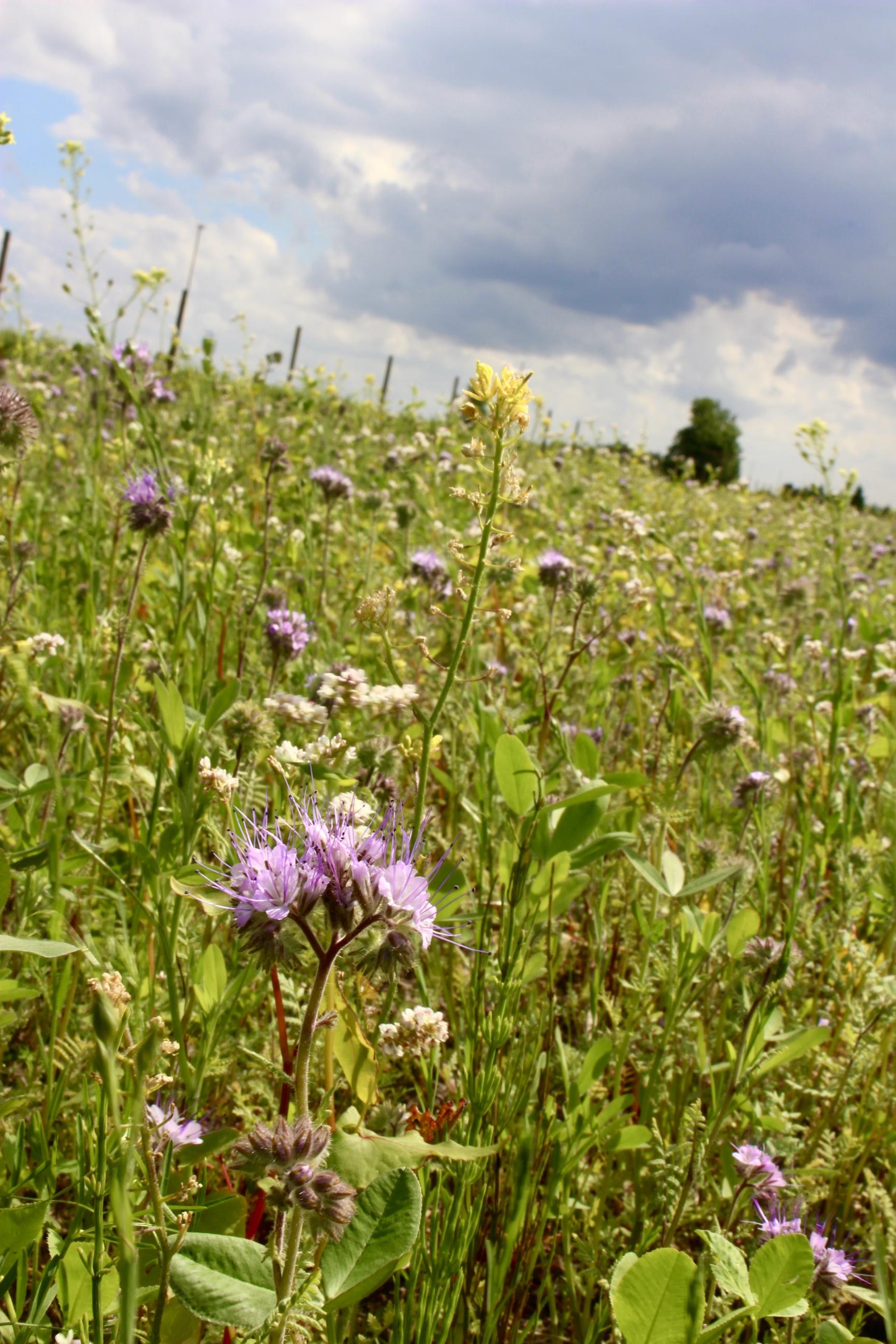 Bienenweide blüht